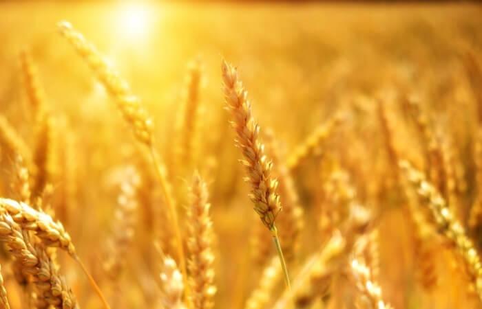 Урожайность пшеницы по странам мира