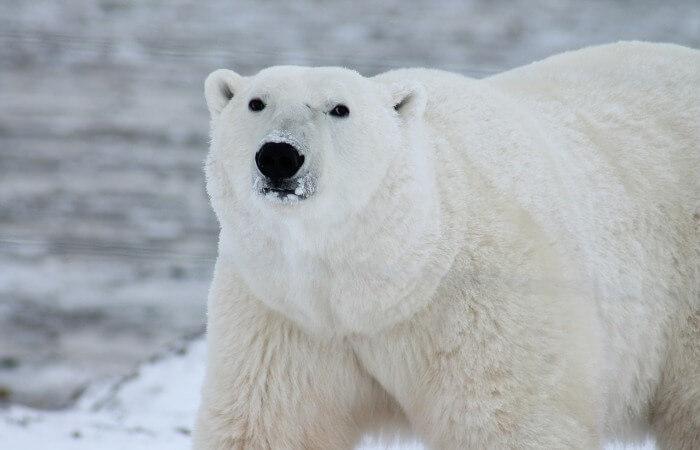 Арктические сани