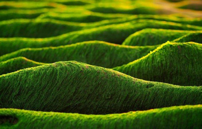 Биологическое получение водорода при помощи водорослей